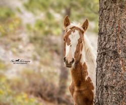 Wild horse Pain baby