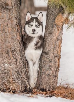 Snow the Husky