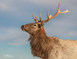 Mr Elk in Cold Creek