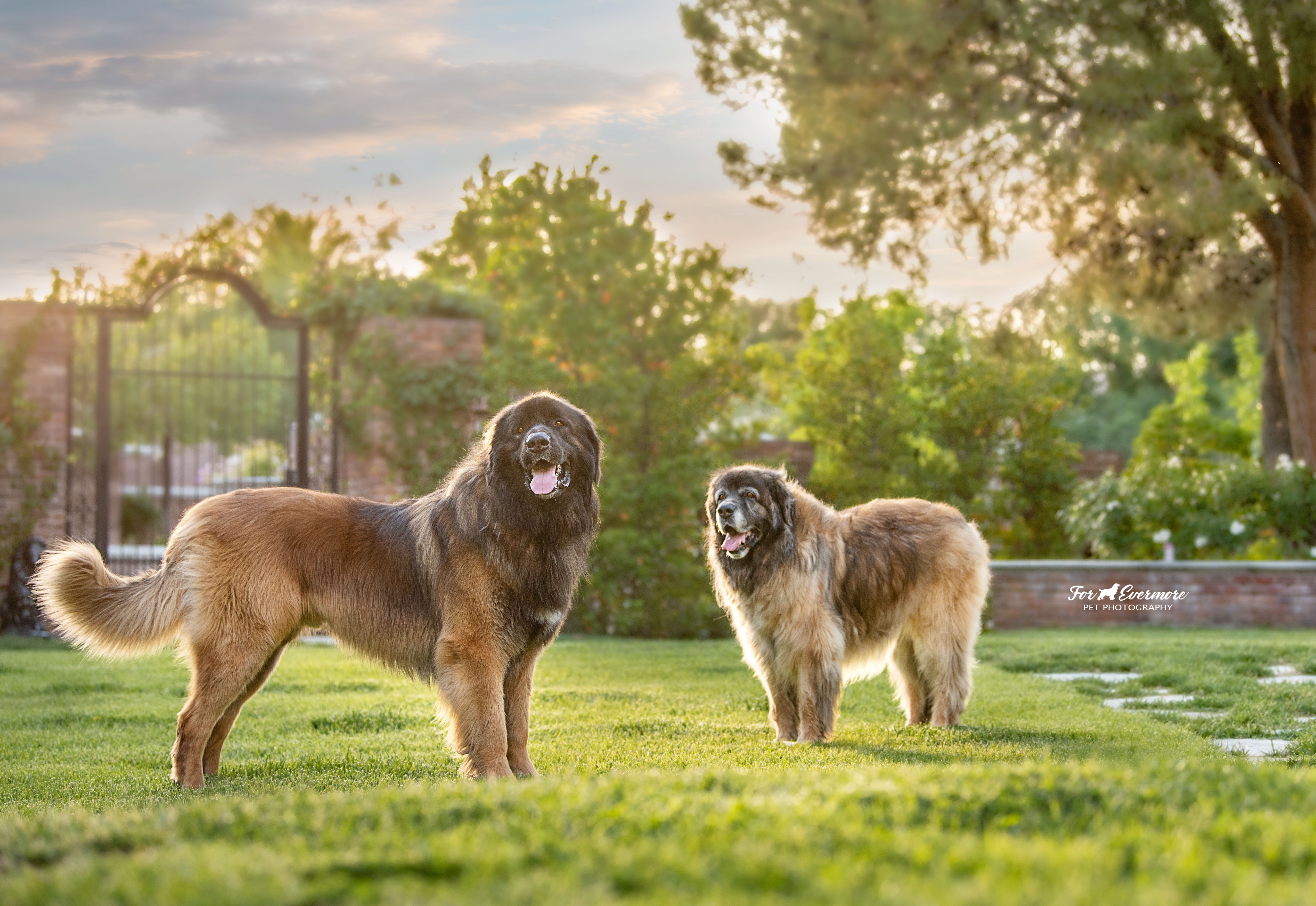 Leonbergers Jake and Maddie