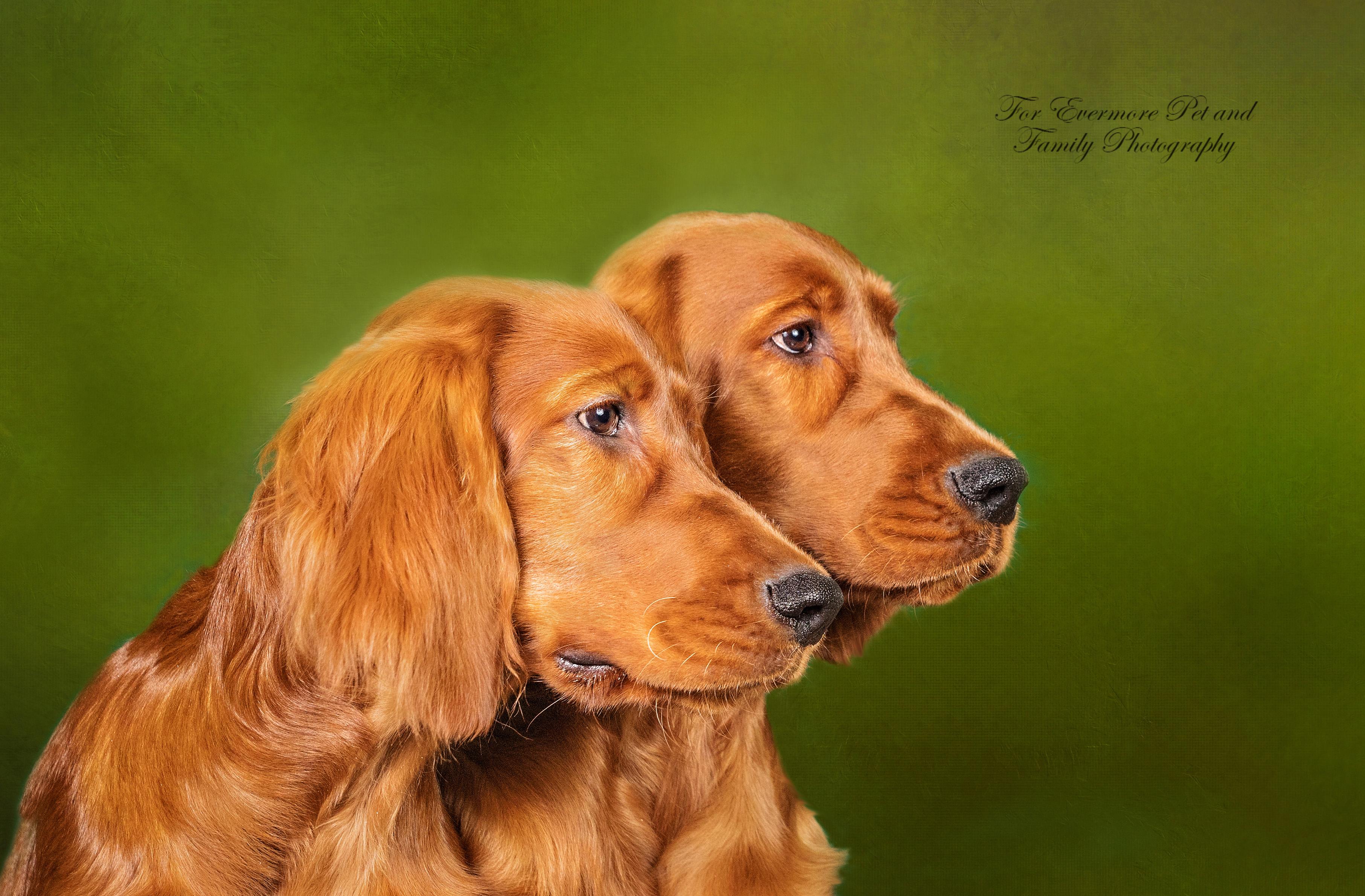 Irish Setter puppies August and Cora