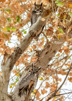 r and Mrs Great Horned Owls