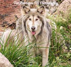 Hybrid Wolf King