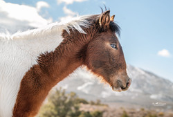 Wild Mustang 8 months old