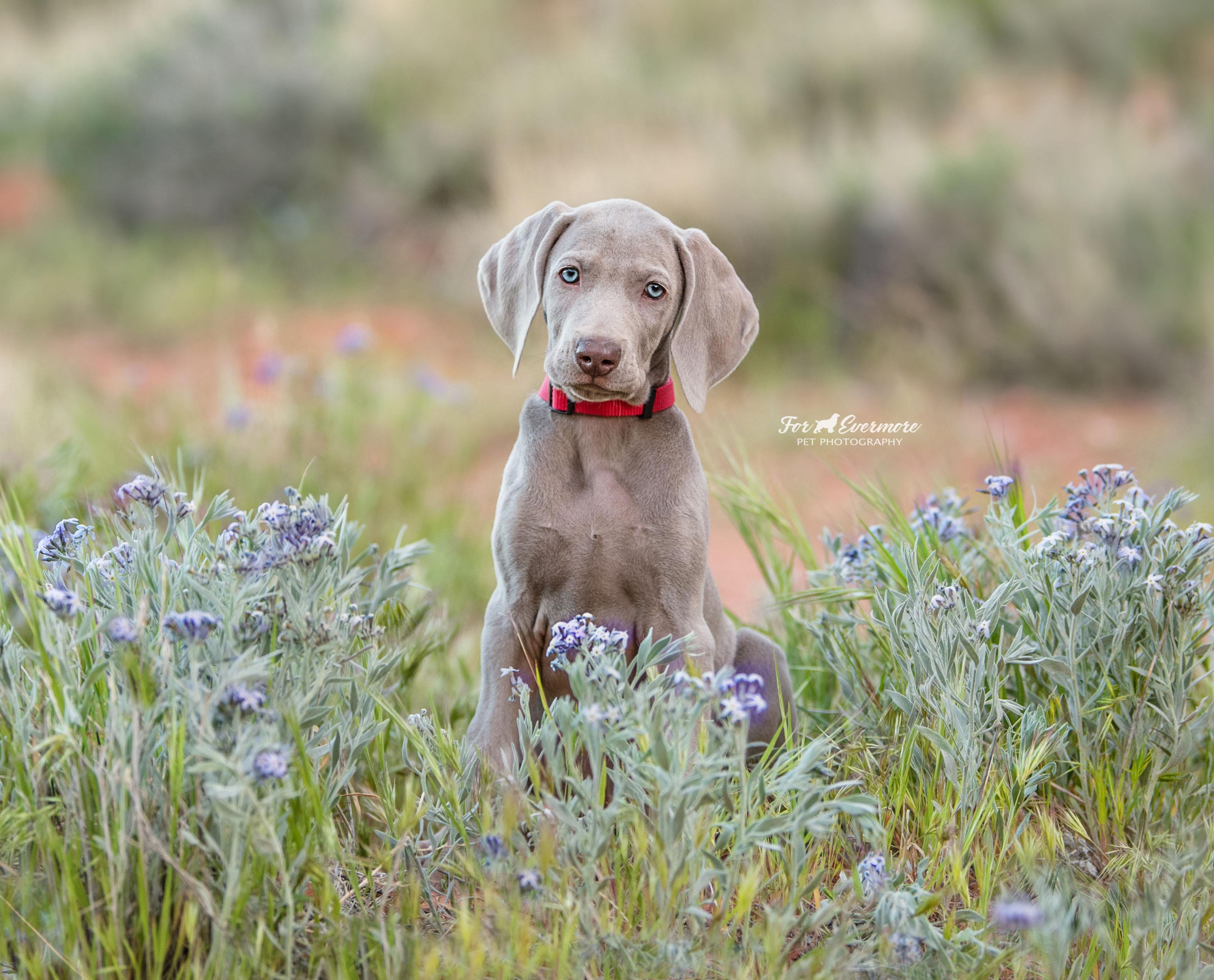 Weimaraner puppy Tiva