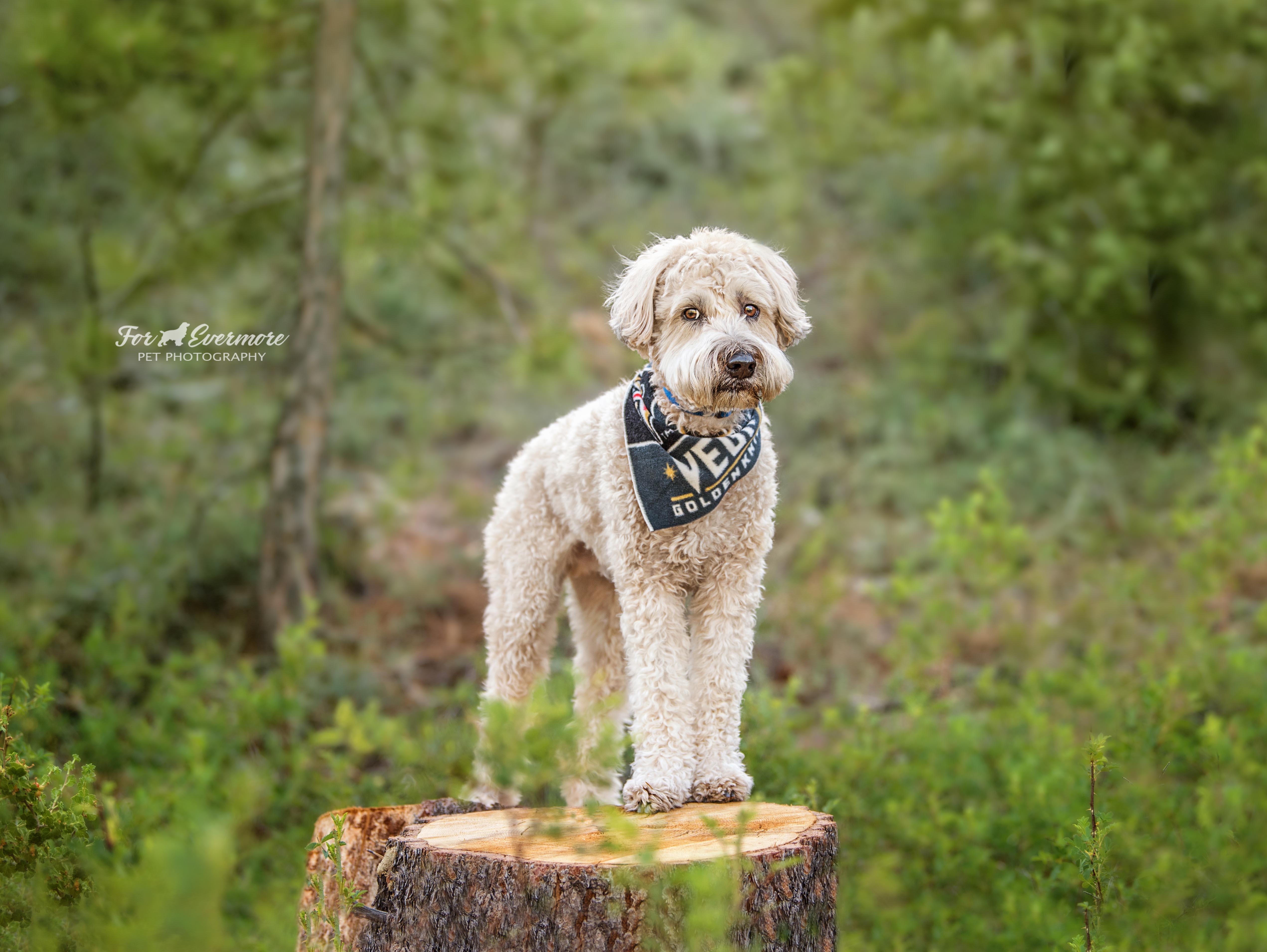 Wheaton Terrier Luca