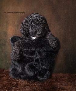 Poodle puppy Lily