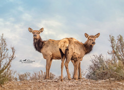 Two young Elk