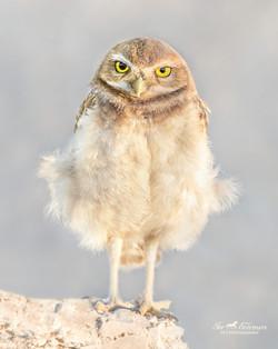Four week old Burrowing Owl baby