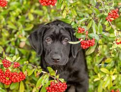 Black Lab puppy Mr Dude