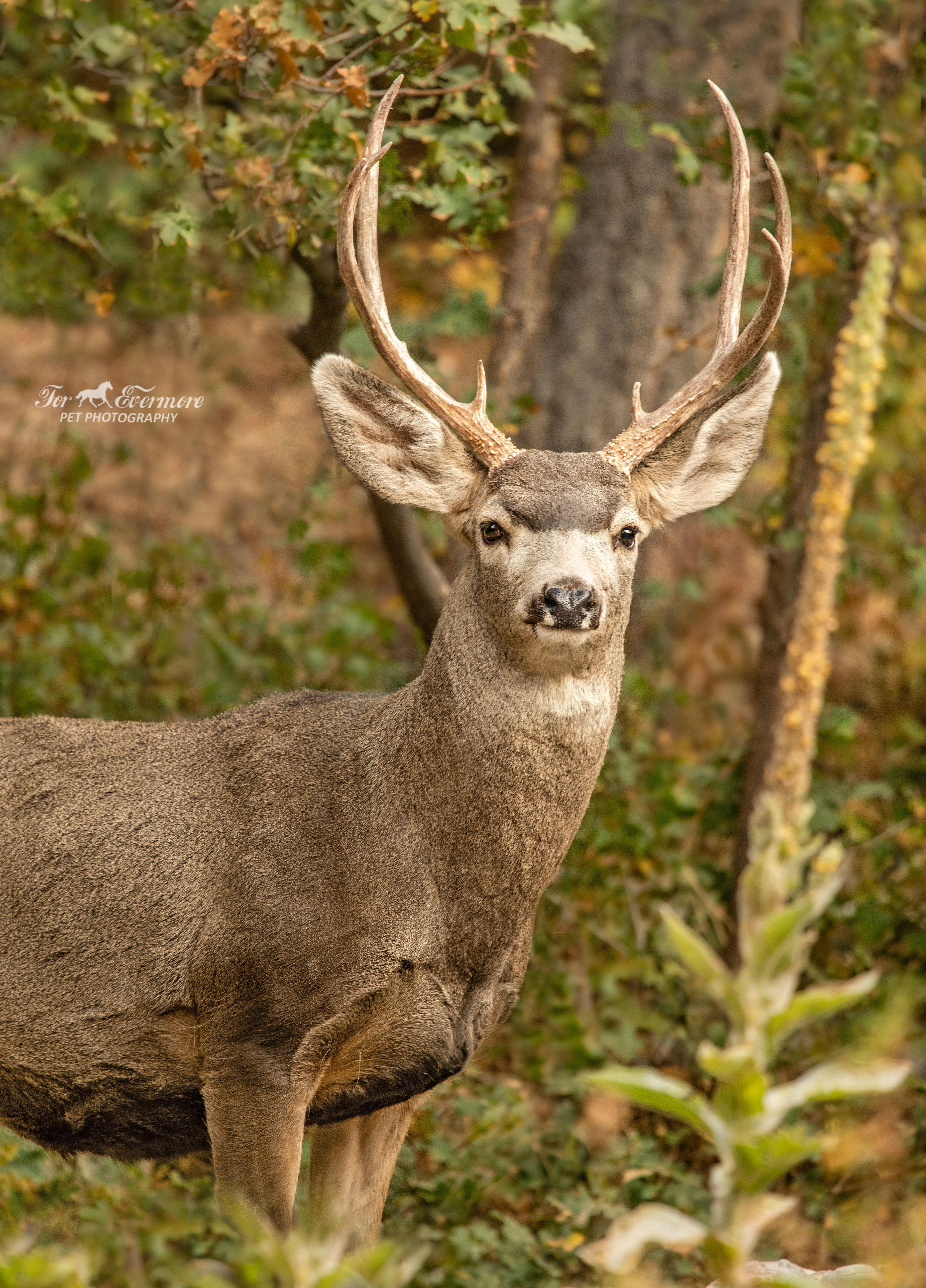 Young Mule Deer posing for me