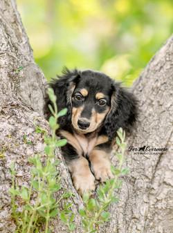Poppy Doxie puppy in the tree