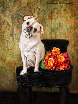 Benny the Pug looking like a paintin