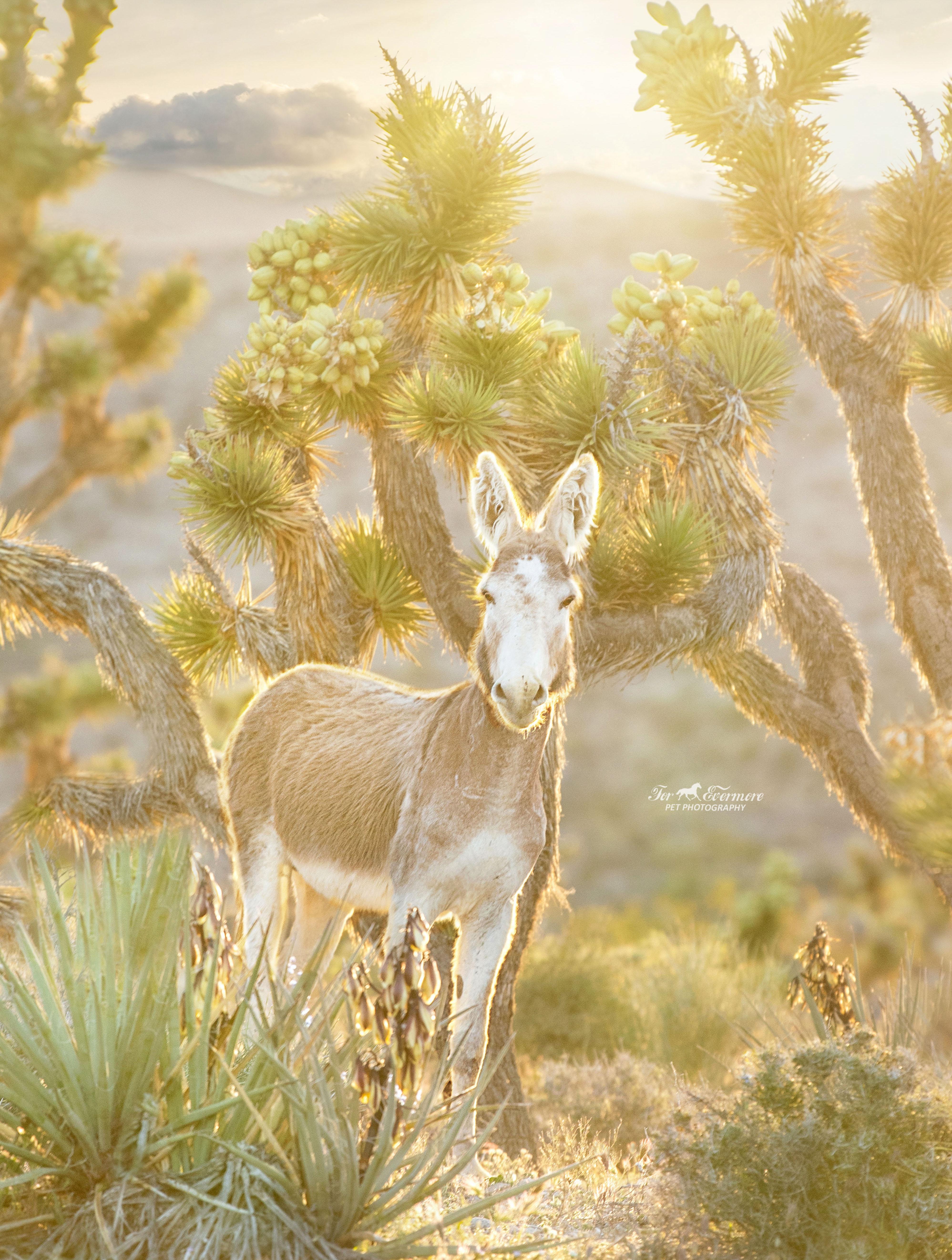 Wild burro at sunset in golden light