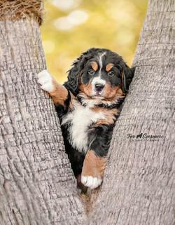 Bernese Mt dog puppy Maci