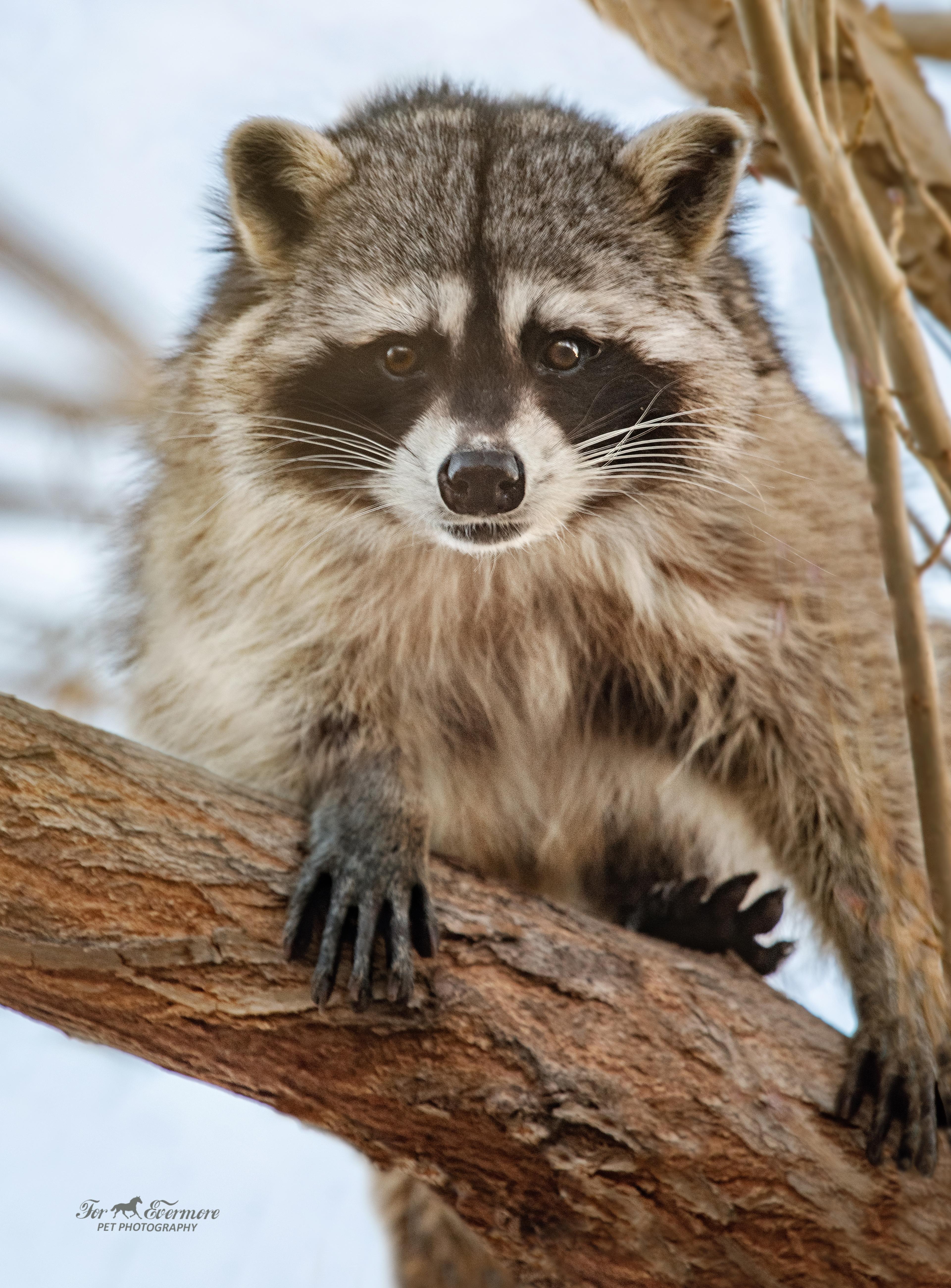 Raccoon posing in tree