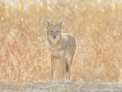 Coyote backlit from the sun in the golden hour