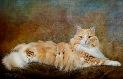 Norwegian Forest cat Rory