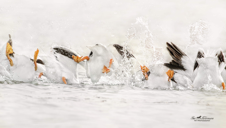Pelicans diving in sequance