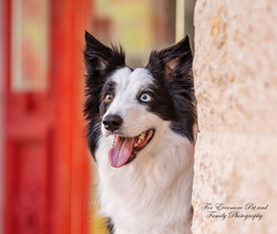 Riley the Border Collie
