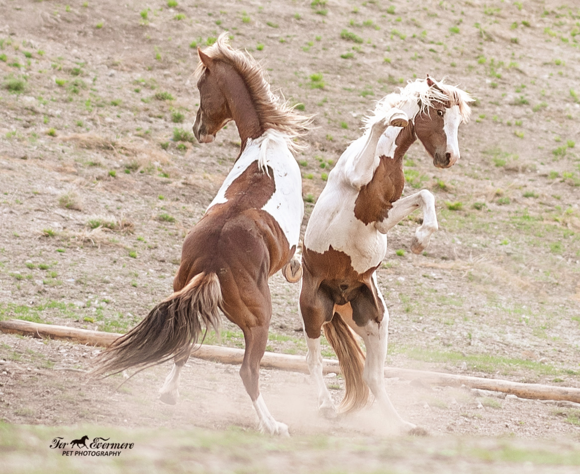 Two wild stallions showing who is lead stallion