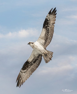 Osprey looking for a fish snack