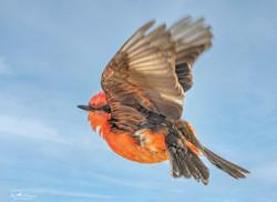 Vermillion Flycatcher in flight