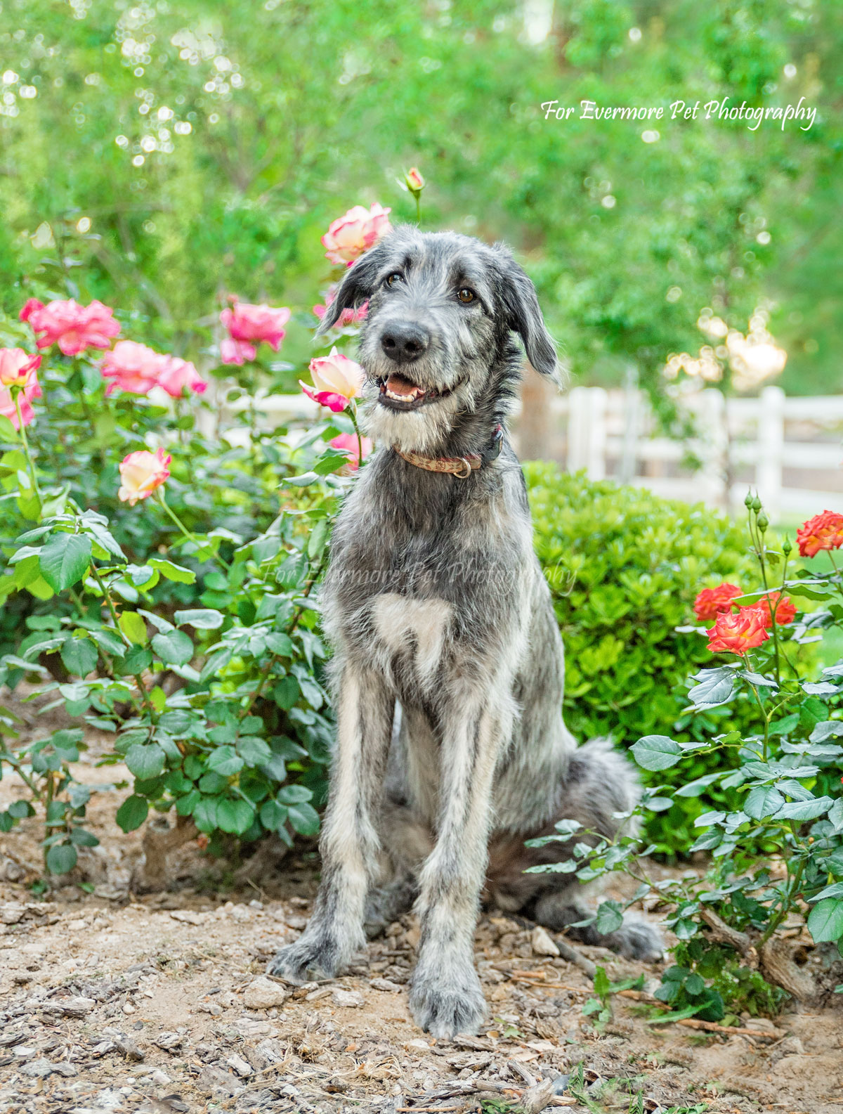 Irish Wolfhound Gracie
