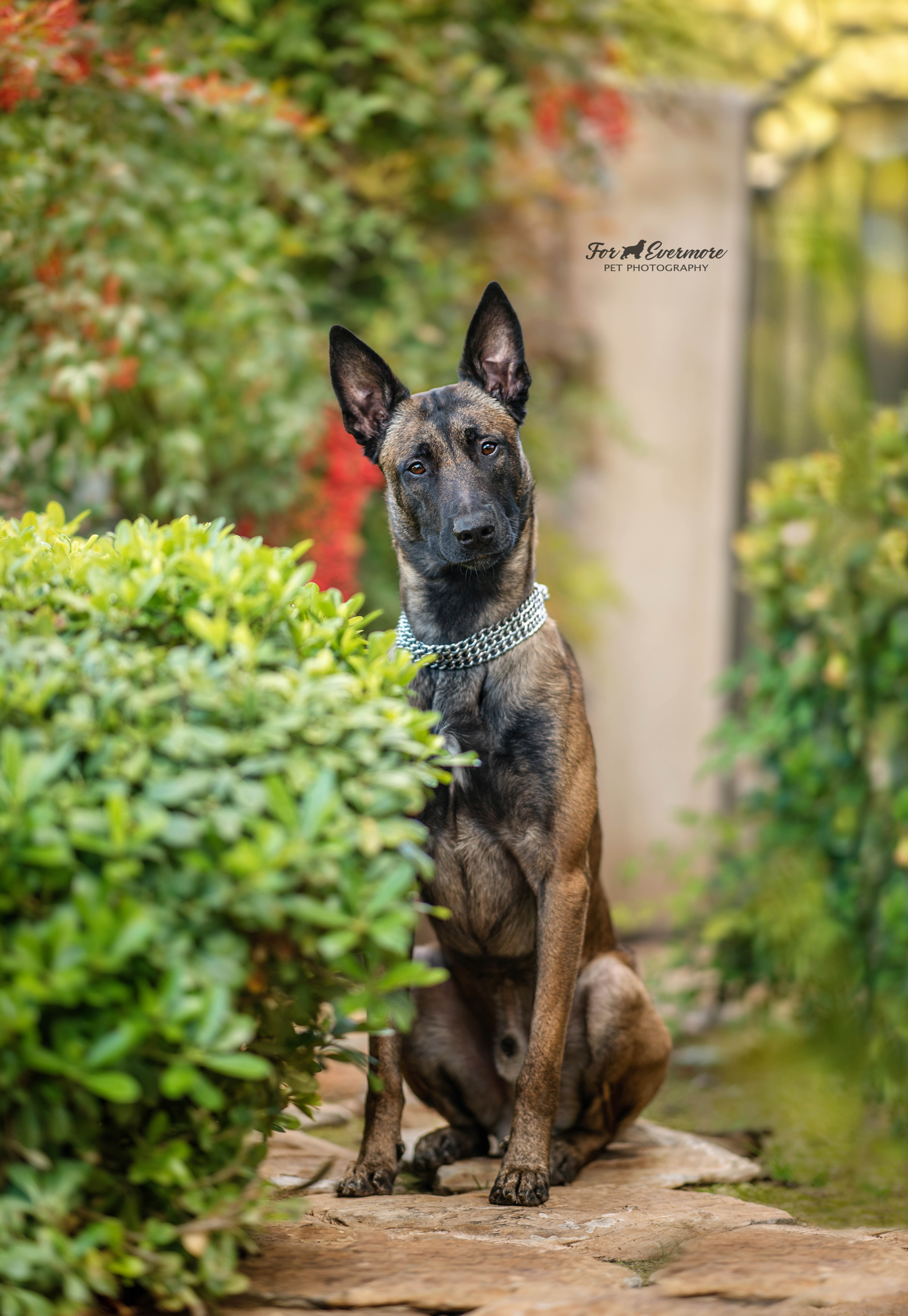 Hero the Belgian Malinois