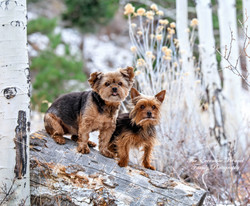 Emma and Gus little Yorkies