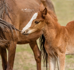 Baby wild horse and mom