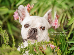 Piper the French Bull dog