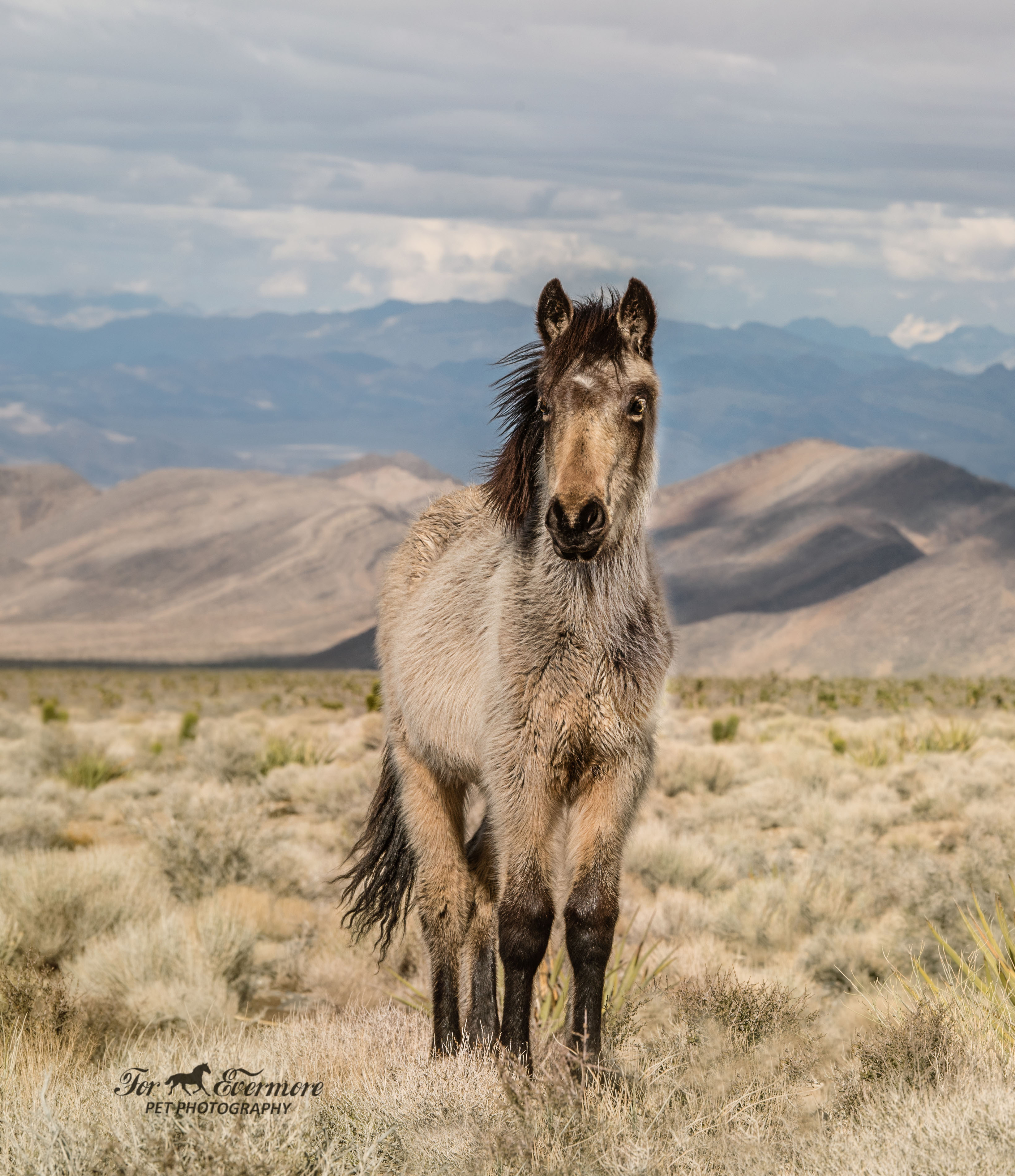 Yearling Buckskin wild horse