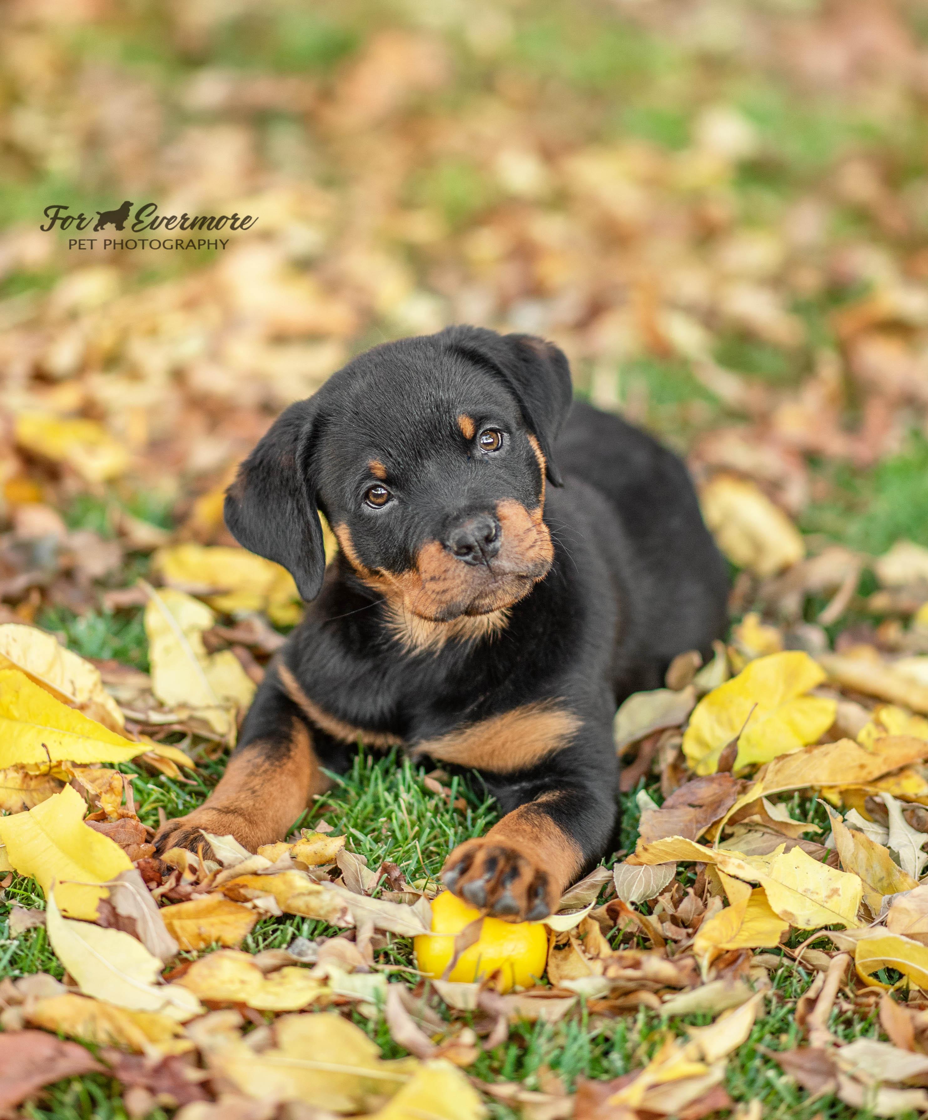 Rottweiler Puppy Vienna