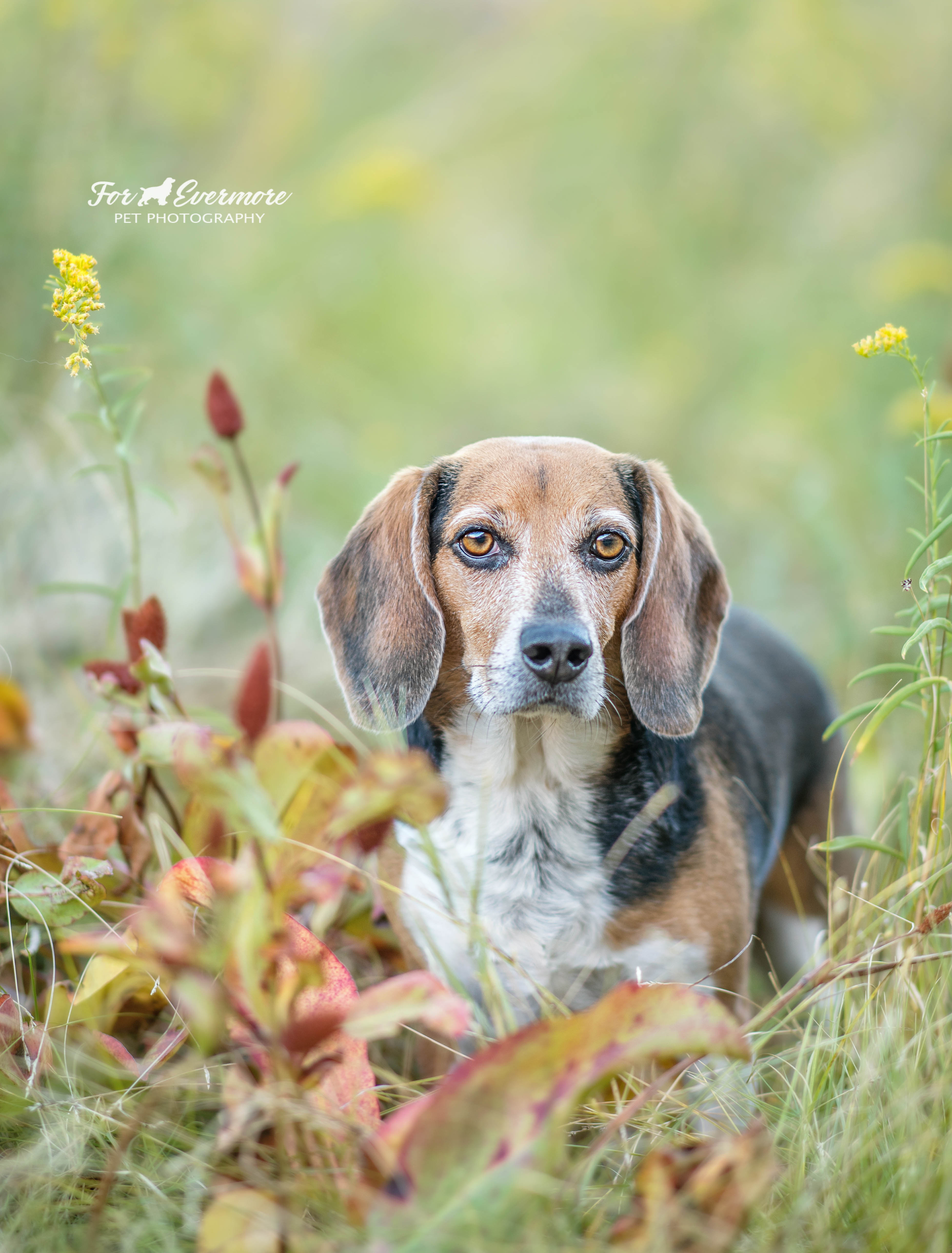 Beagle in the meadow