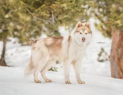 Kima the Husky