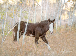 Wild colt Rory at 7 months old Mt Charleston.