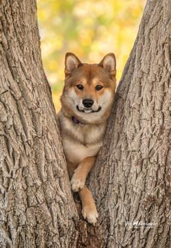 Shiba Inu  puppy Flynn