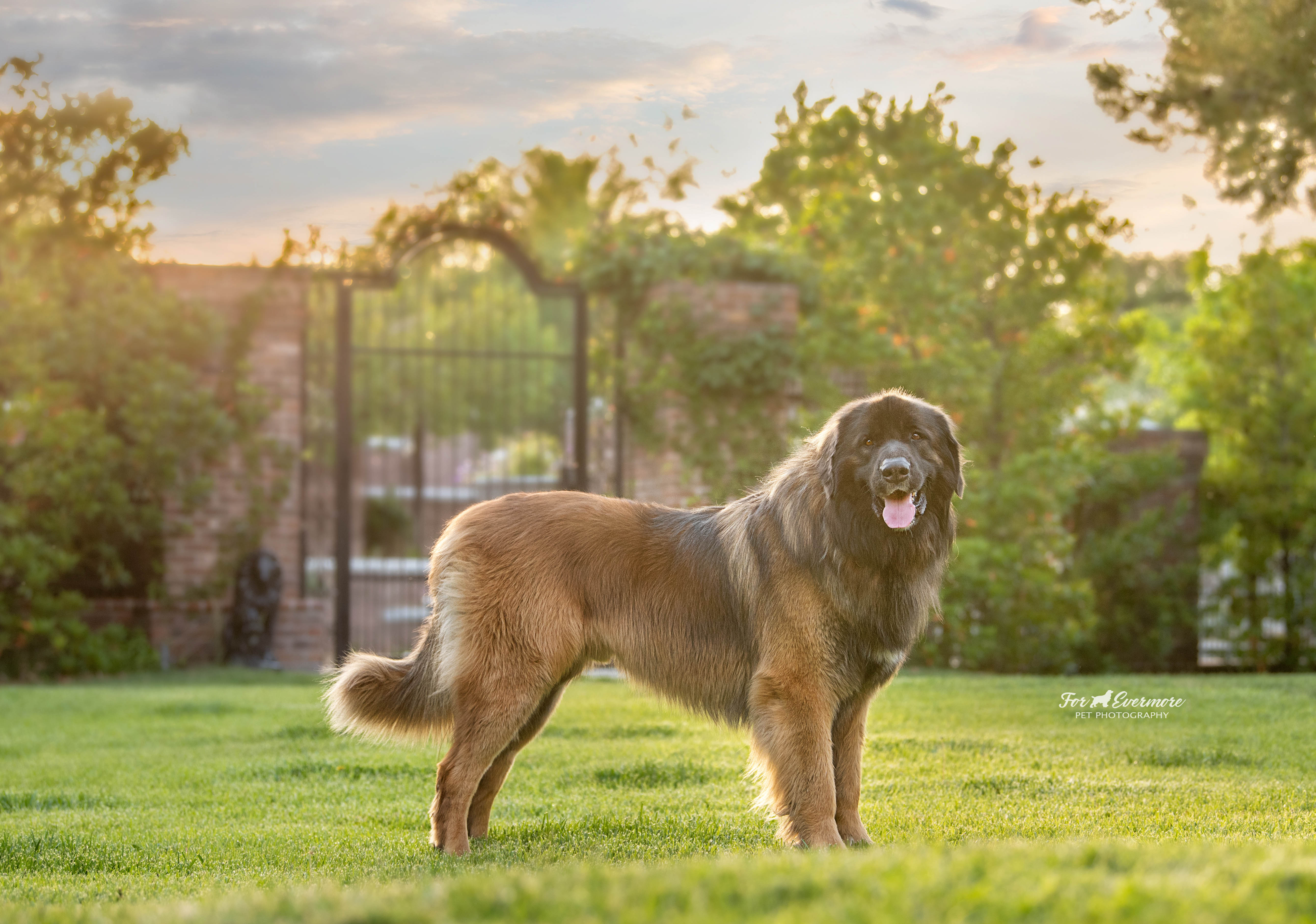 Jake the Leonberger at sunset