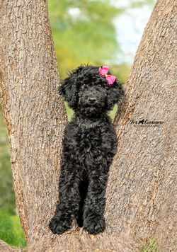 Golden Doodle puppy in a tree