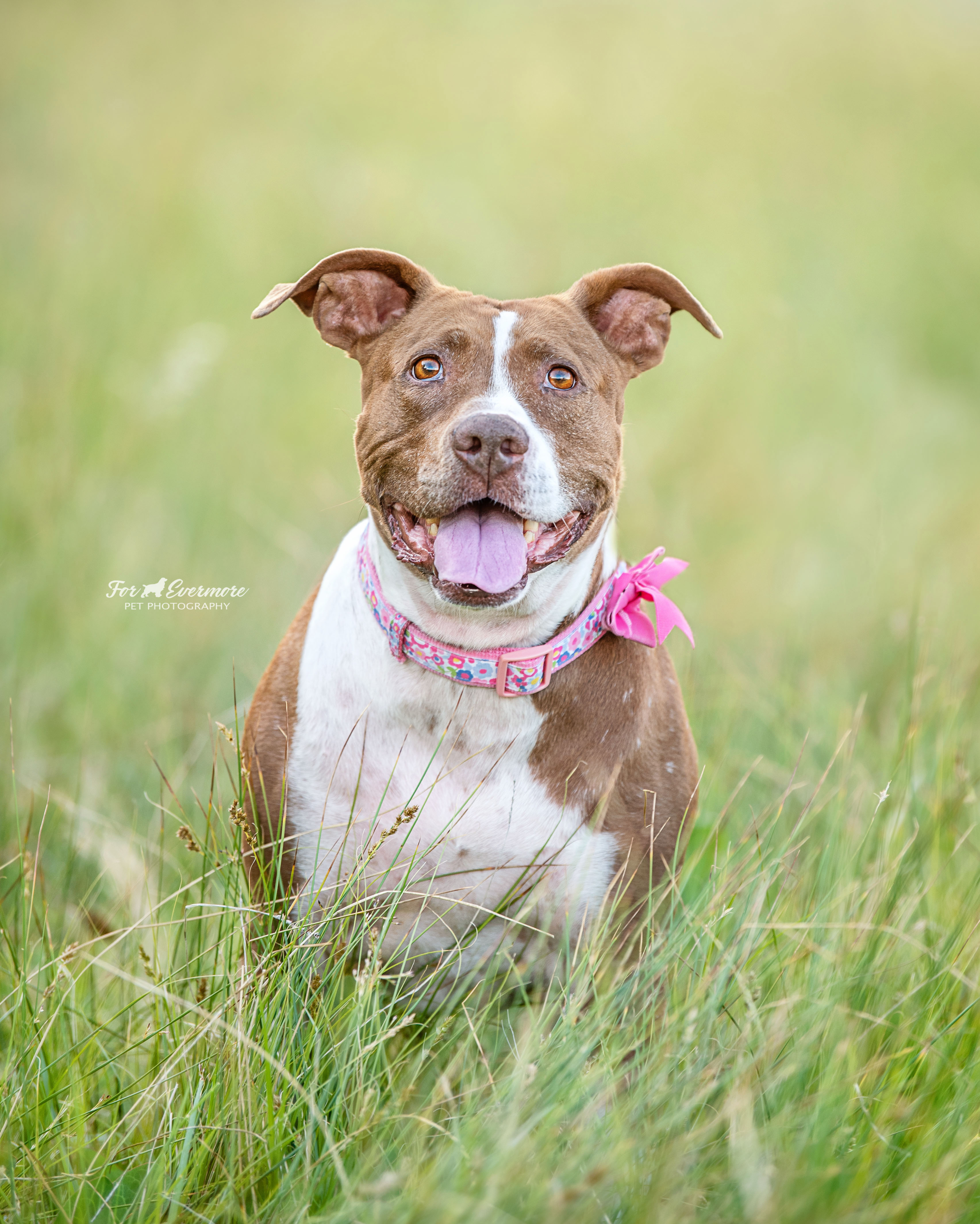 Lilybeth the Pit Bull in the meadow