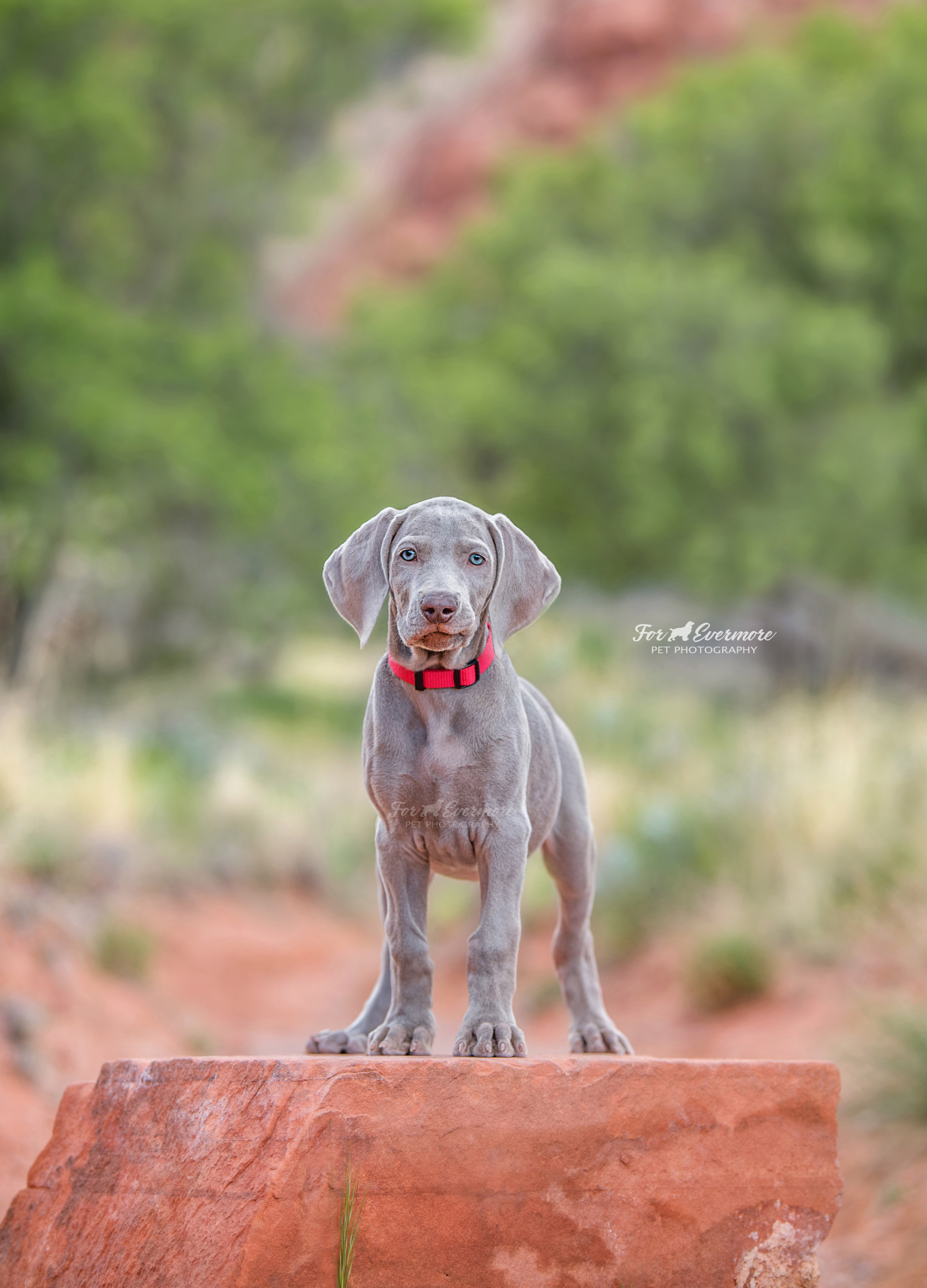 Tiva the Weimaraner puppy