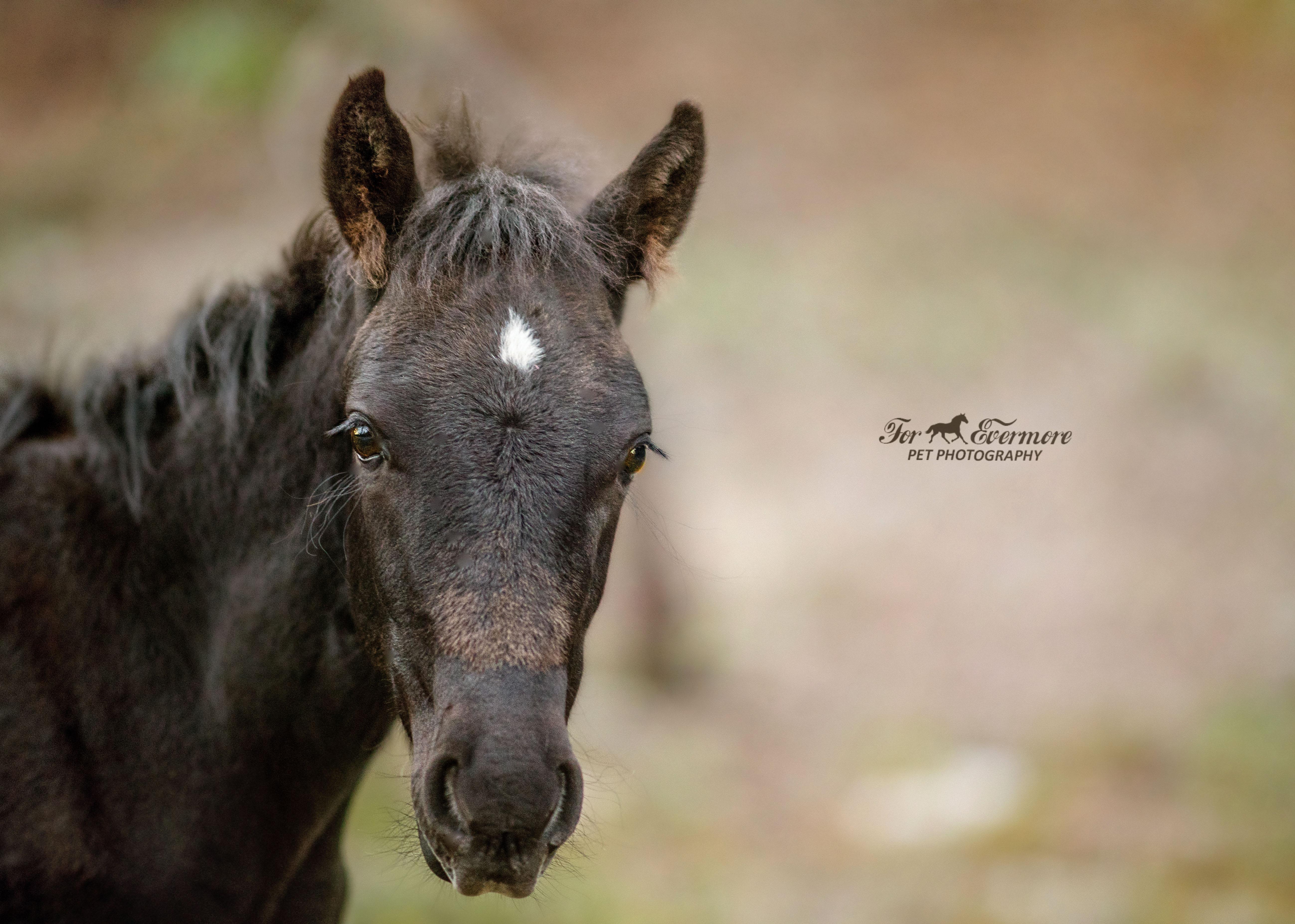 Young black stallion colt