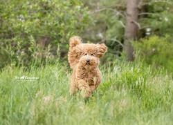 Golden Doodle puppy  running