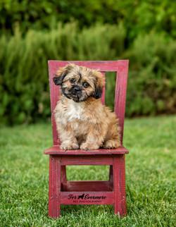 Shih Tzu puppy Koa