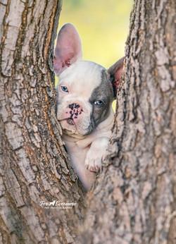 Puppy Boss a 10 week old English Bulldog