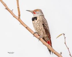 Red Shafted Northern Flicker Woodpecker