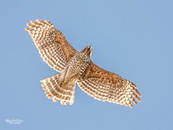 Juvenile Red Shouldered Hawk