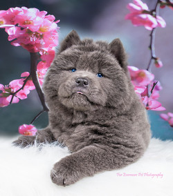 Bear the Chow puppy