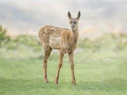 Ten day old Elk
